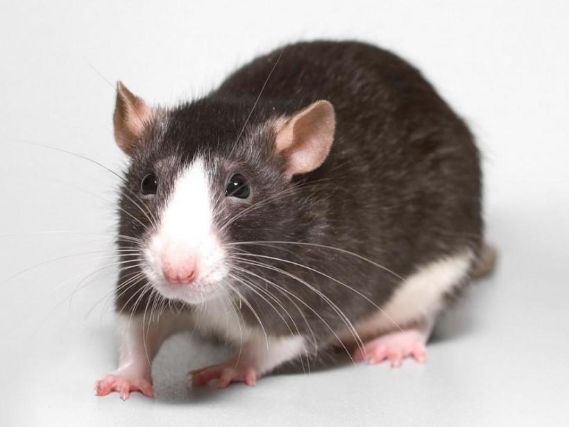 Китайский астролог рассказала, как можно преуспеть в год Крысы