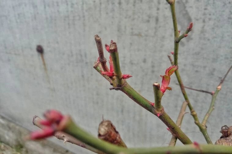 никополь, погода, зима, расцветает