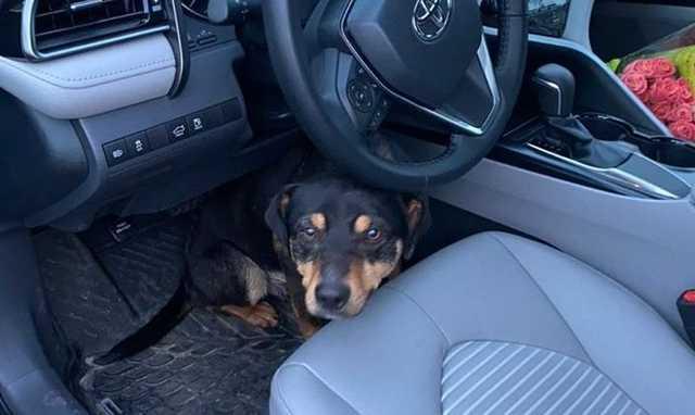 """""""Дуже хотів додому"""". У Броварах вуличний пес застрибнув в автівку і відмовився йти"""